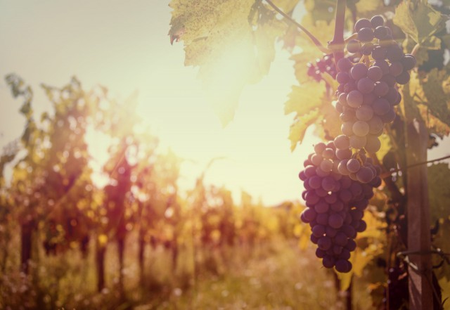 Weine aus der Weinregion oststeirisches Hügelland